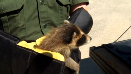 Good Samaritan rescues sweet baby raccoons